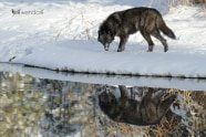 Winter wildlife photography workshop, tundra wolf reflection photographed by Jeff Wendorff