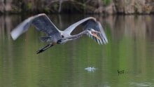 Great Blue Heron photographed with Nikon 500mm lens by Jeff Wendorff