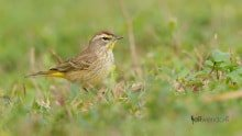 Palm Warbler photographed with Nikon 500mm lens by Jeff Wendorff
