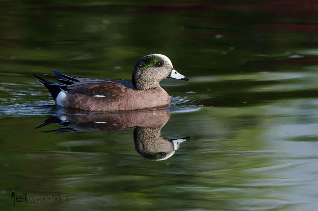 American Wigeon photographed by Jeff Wendorff