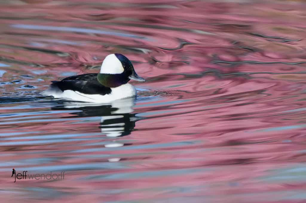 Bufflehead photographed by Jeff Wendorff