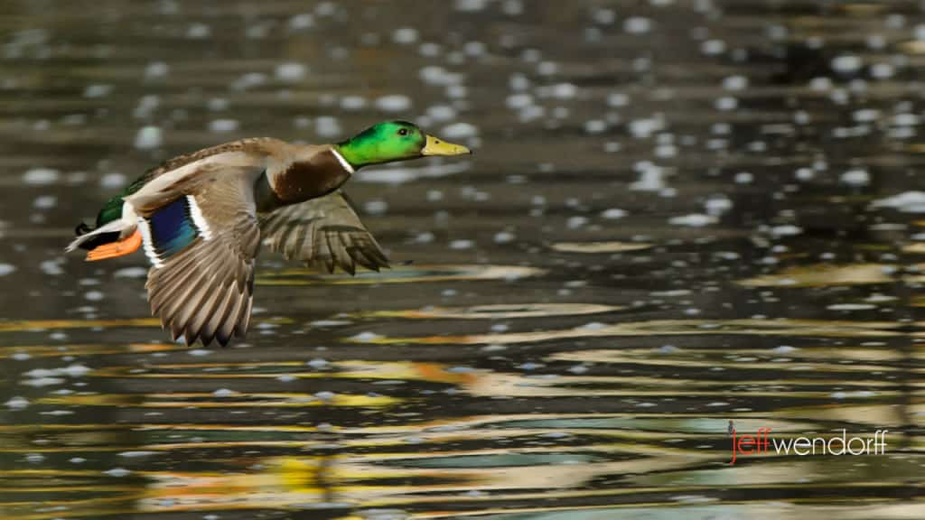 Mallard in flight photographed by Jeff Wendorff