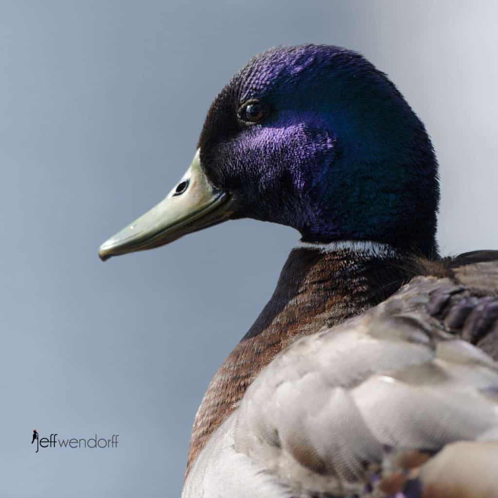 Mallard photographed by Jeff Wendorff