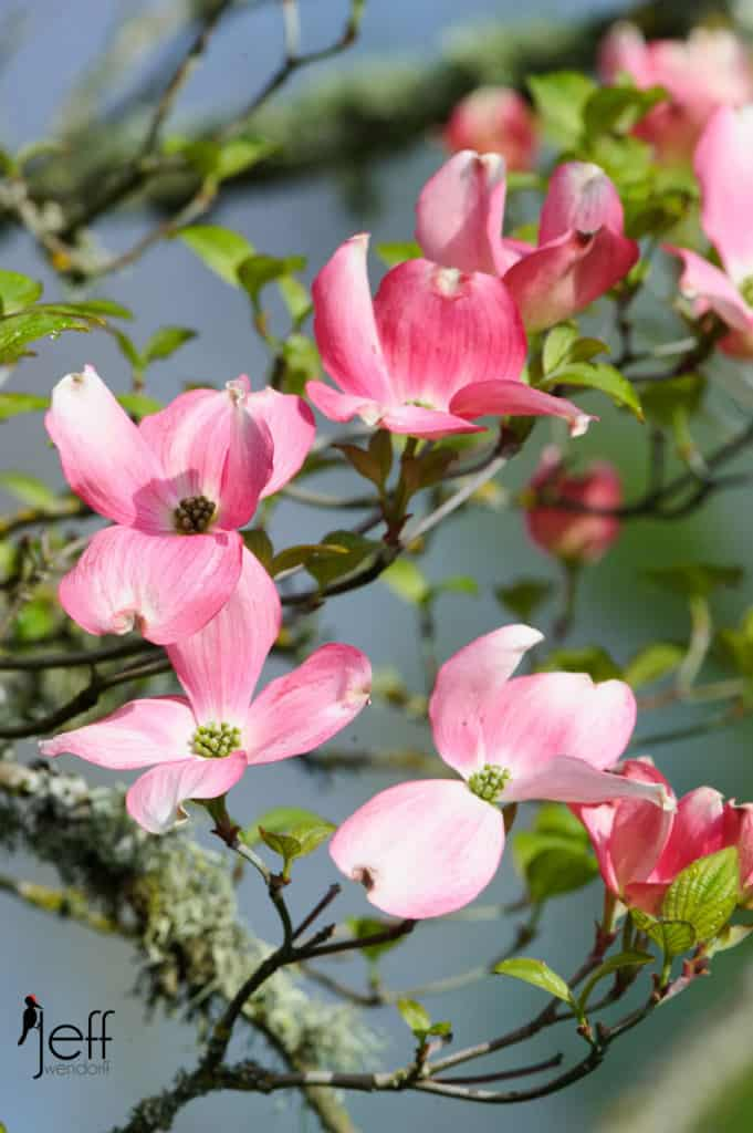 Pink Dogwood photographed by Jeff Wendorff