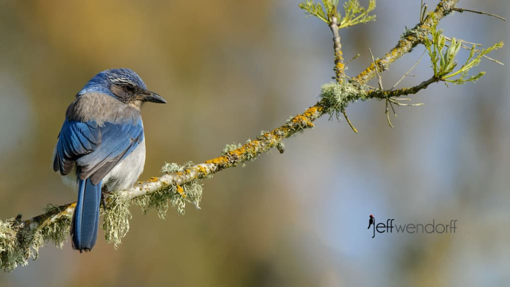 Western Scrub-Jay photographed by Jeff Wendorff