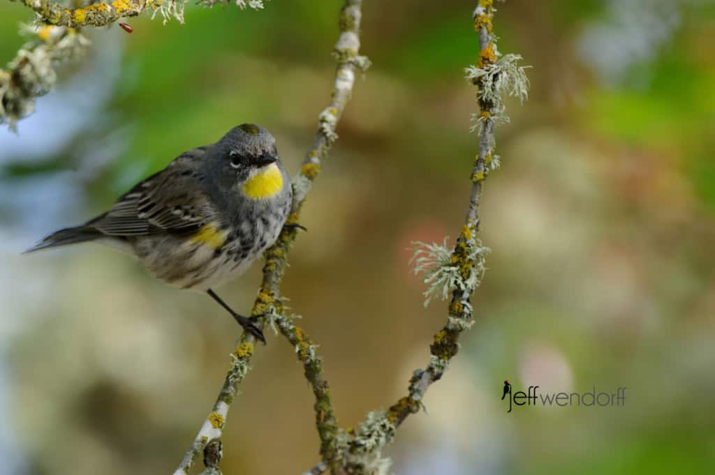 Audubon's Yellow-rumped Warbler photographed by Jeff Wendorff