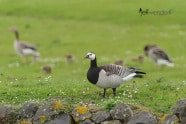 Barnacle Goose photographed by Jeff Wendorff