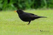 Common Blackbird photographed by Jeff Wendorff
