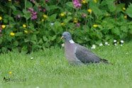 Common Wood Pigeon photographed by Jeff Wendorff