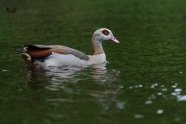 Egyptian Goose photographed by Jeff Wendorff