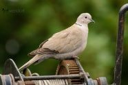 Eurasian Collared-dove photographed by Jeff Wendorff