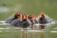 Eurasian Coot chicks photographed by Jeff Wendorff
