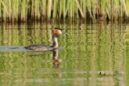 Great Crested Grebe photographed by Jeff Wendorff