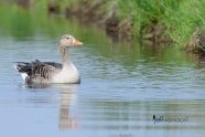 Greylag Goose photographed by Jeff Wendorff