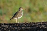 Spotted Sandpiper photographed by Jeff Wendorff