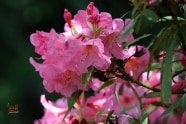 Rhododendron photographed by Jeff Wendorff
