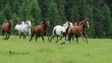 Western horse roundup photographed by Jeff Wendorff