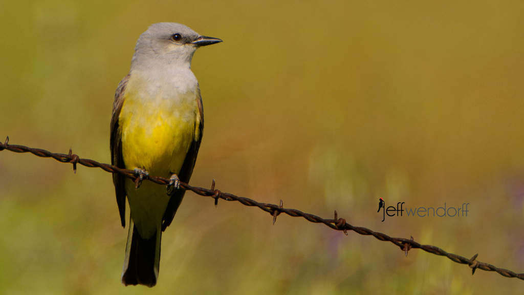 Art from photography - Western Kingbird created by Jeff Wendorff