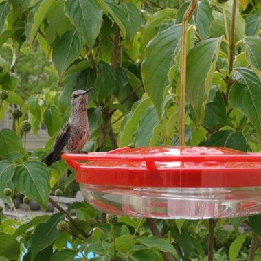 Hummingbirds in Slow Motion