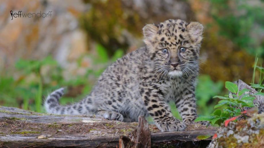 6 week old Amur Leopard Kitten photographed by Jeff Wendorff during his photography workshop