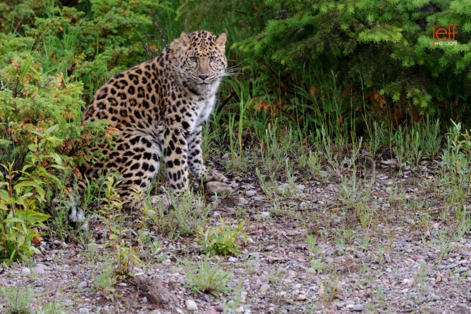 Male Amur Leopard photographed by Jeff Wendorff