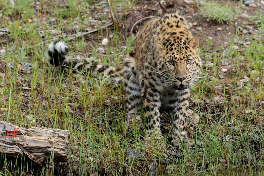 Amur Leopard photographed by Jeff Wendorff