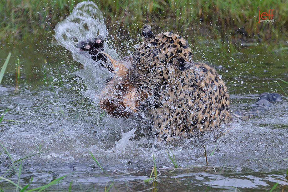 Amur Leopard biting and swatting a lure in the water photographed by Jeff Wendorff