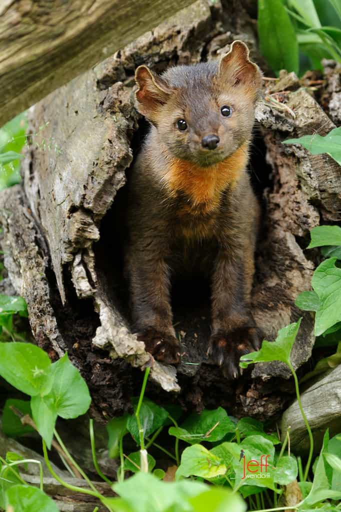 Quizzical expression on a cute American or Pine Marten photographed by Jeff Wendorff