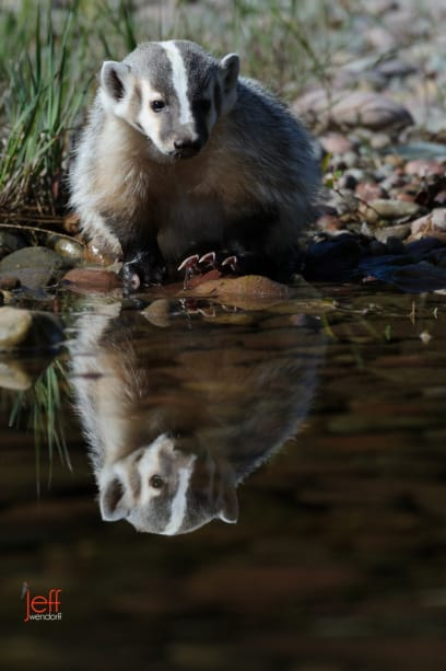 A reflection of a Juvenile American Badger at a stream photographed by Jeff Wendorff