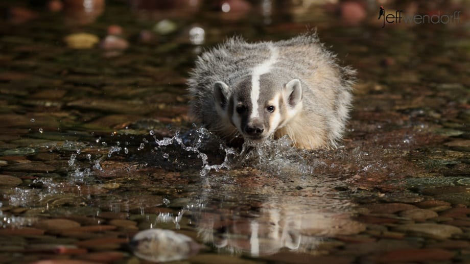 Juvenile American Badger crossing a stream photographed by Jeff Wendorff