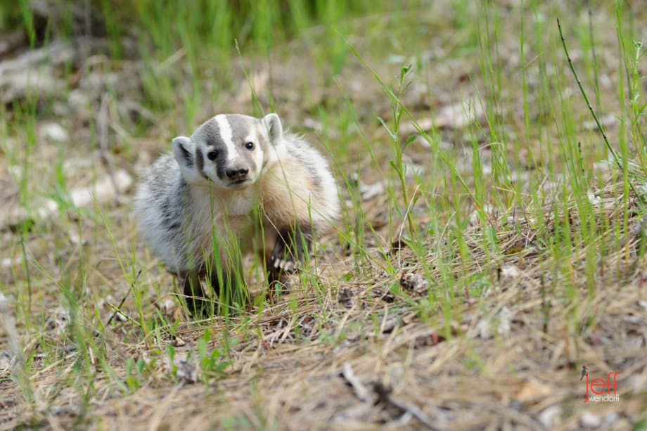American Badger trotting on a hillside photographed by Jeff Wendorff