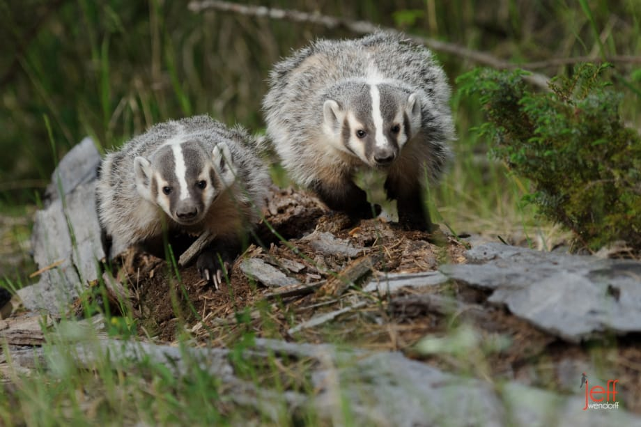 Pair of American Badgers walking along a dead tree photographed by Jeff Wendorff