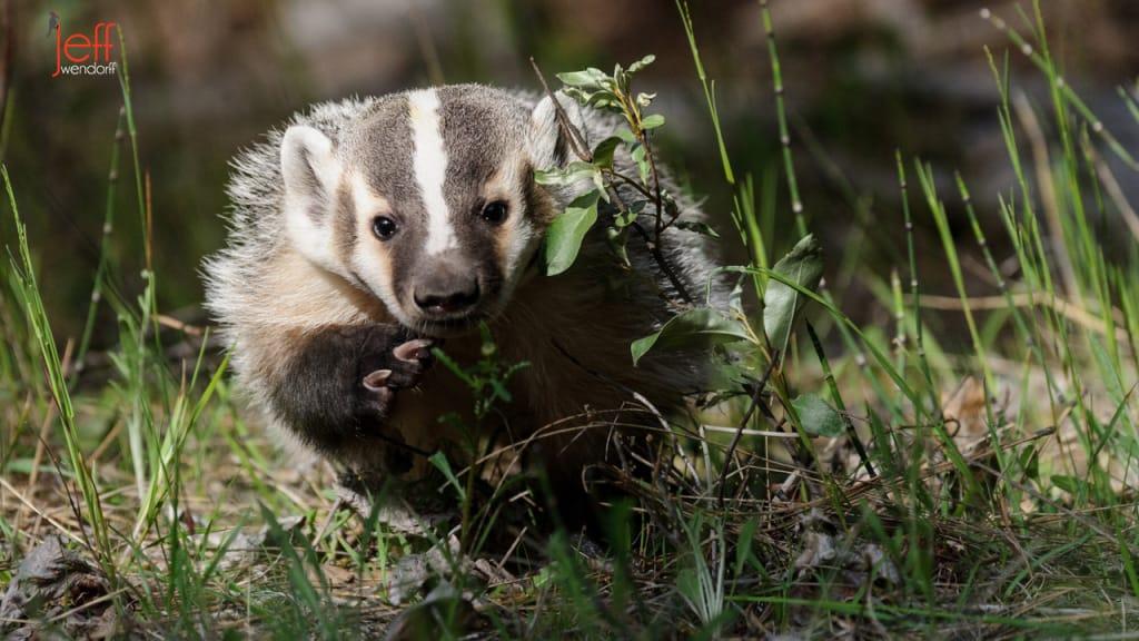 Juvenile Badger Photos