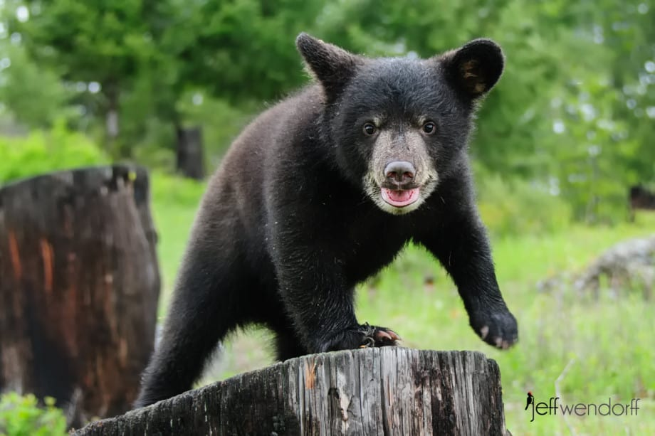 Black Bear cub on a stump photographed by Jeff Wendorff