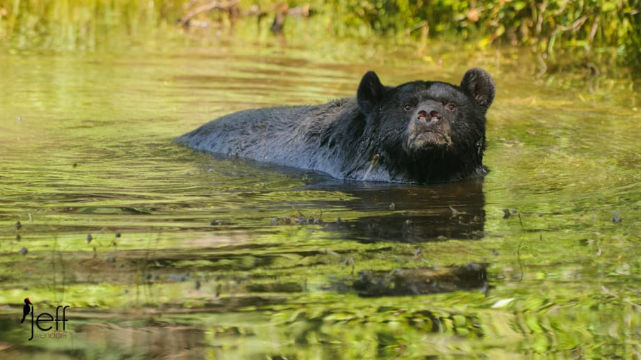 Black Bear checking out the photographer from a pond photographed by Jeff Wendorff
