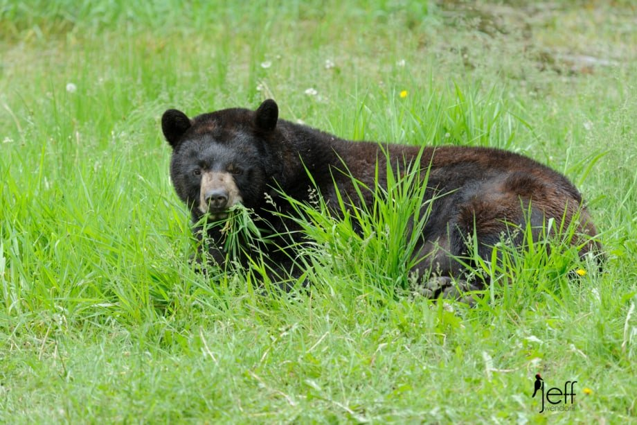Black Bear eating grass photographed by Jeff Wendorff