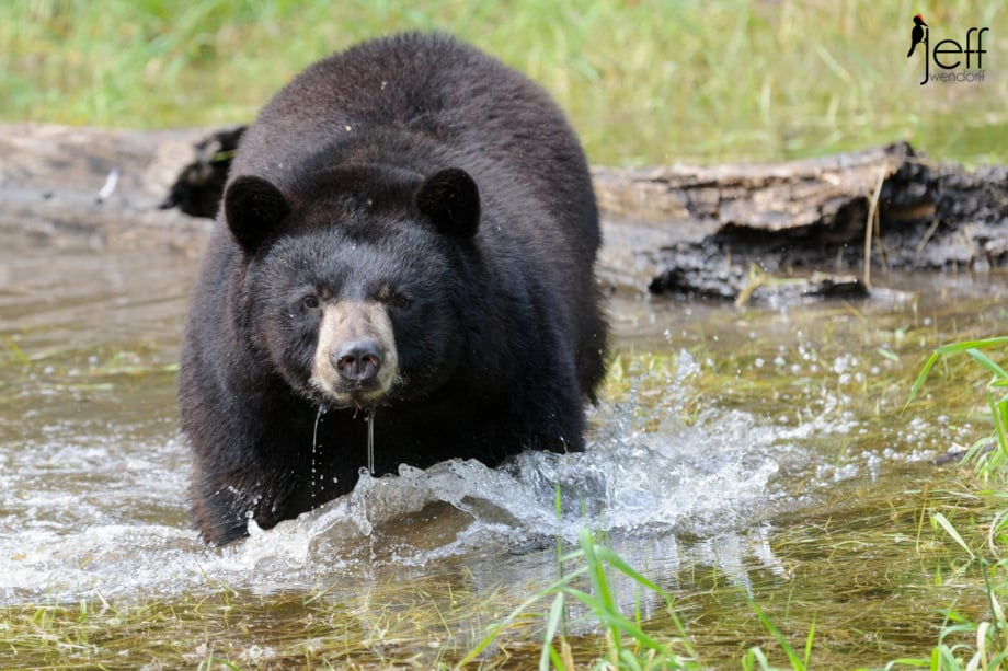Black Bear Wading in a pond photographed by Jeff Wendorff