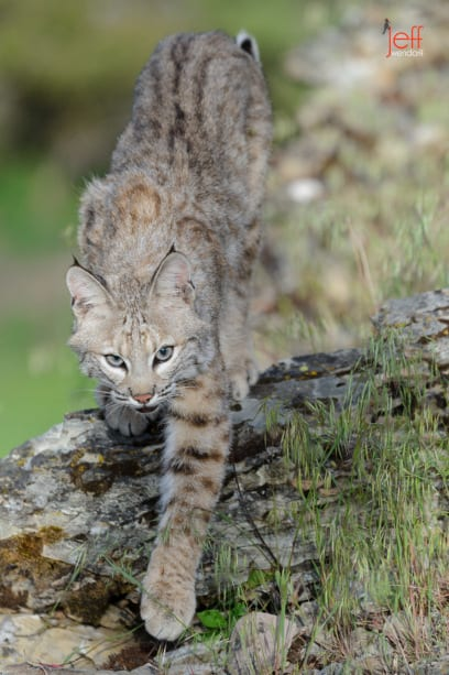 Young Bobcat on the ridge photographed by Jeff Wendorff