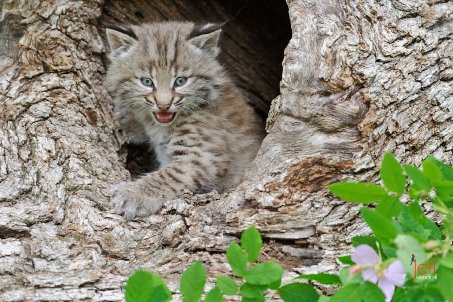 Bobcat kitten in a log photographed by Jeff Wendorff