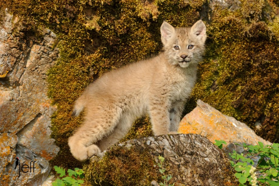 Canada Lynx Kitten in Montana photographed by Jeff Wendorff