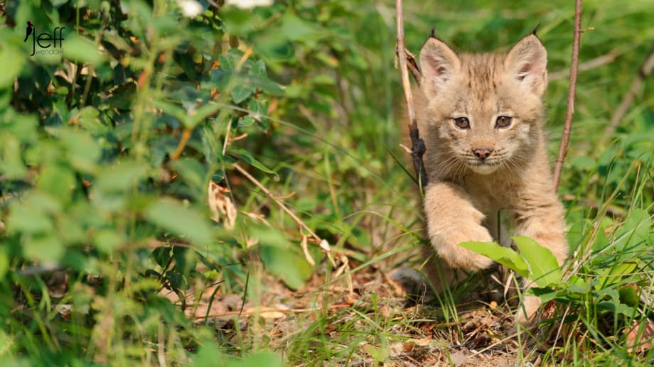 Canada Lynx Kitten walking in woods photographed by Jeff Wendorff