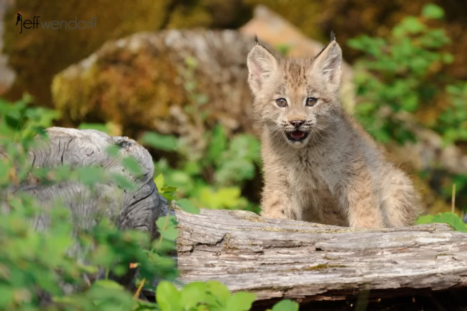 Canada Lynx kitten sitting looking at the camera photographed by Jeff Wendorff