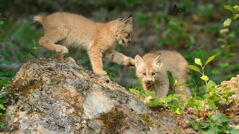 Pair of Canada Lynx kittens playing on rocks photographed By Jeff Wendorff