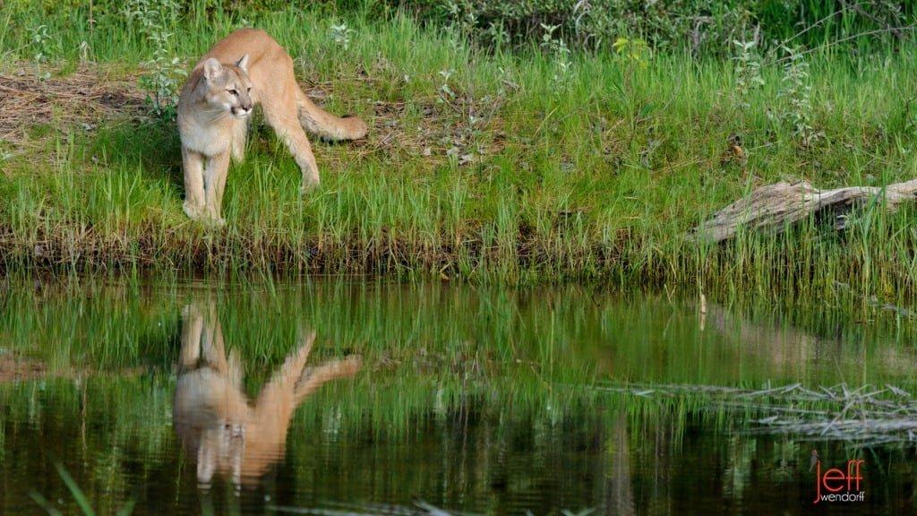 Cougar Photos