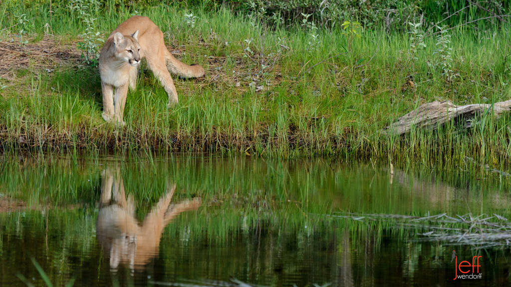 A cougars reflection along a water bank photographed by Jeff Wendorff