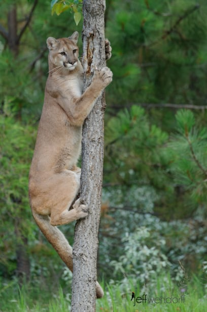 Cougar climbing a tree photographed by Jeff Wendorff