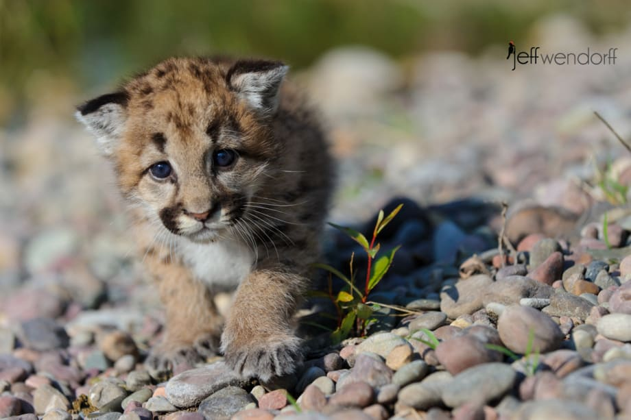 Up close with a baby cougar photographed by Jeff Wendorff