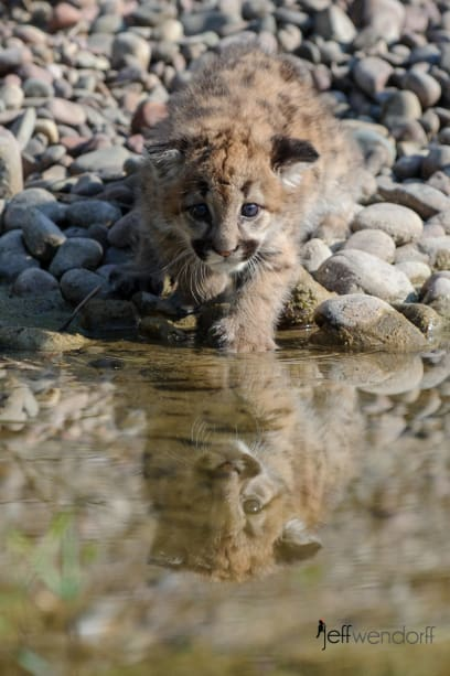 Baby Cougar reflection in a creek photographed by Jeff Wendorff