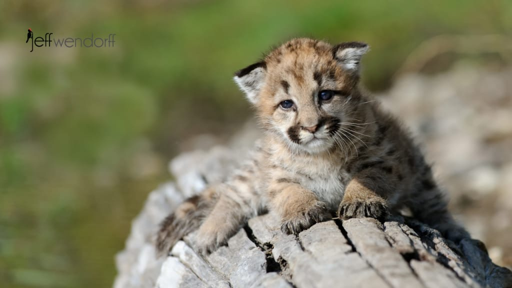 Baby Cougar Photos