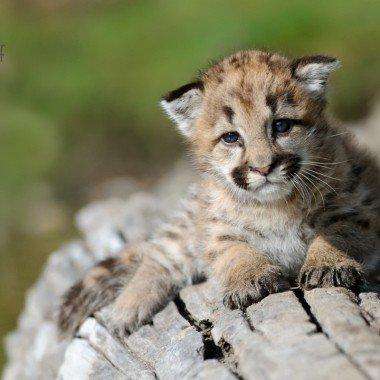 Baby Cougar Photos